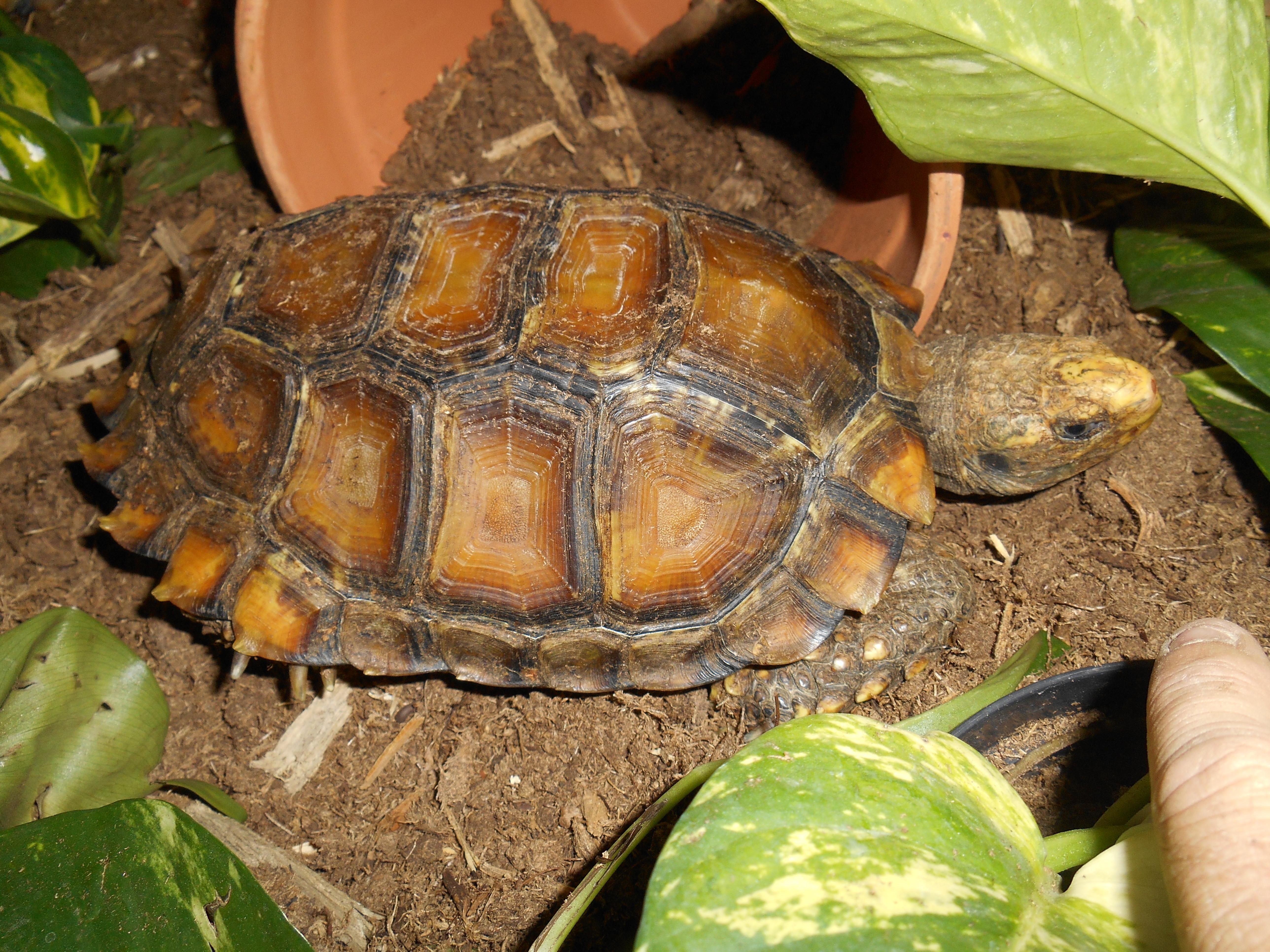 Impressed Tortoises