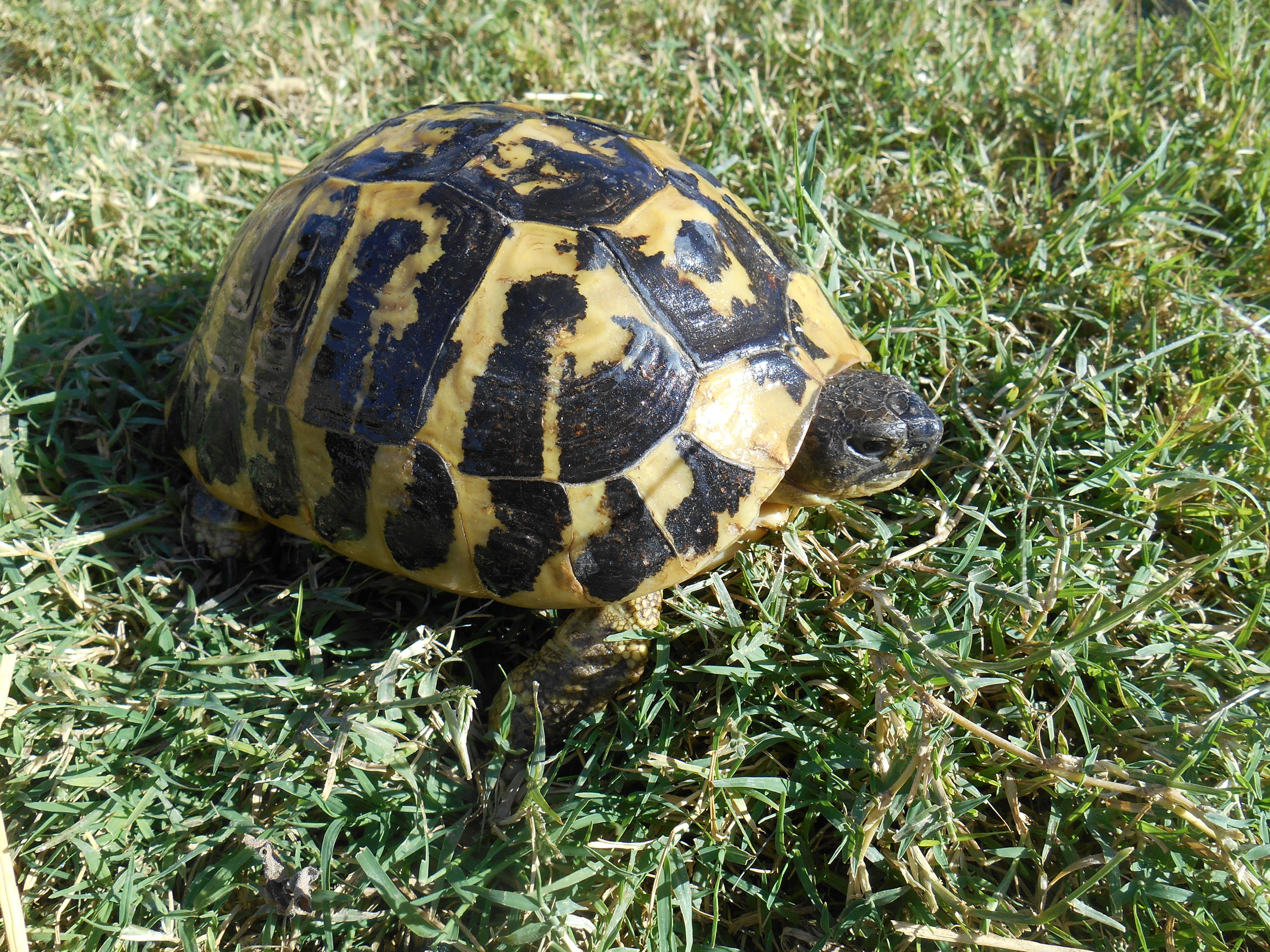 Western Hermanns Tortoises