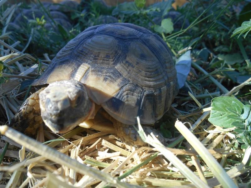 Moroccan Greek Tortoises