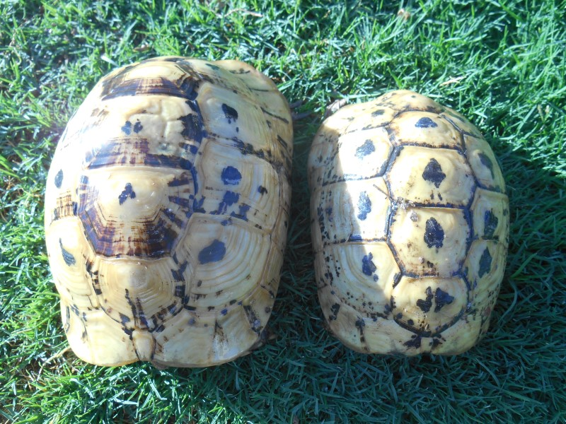 Libyan Greek Tortoises