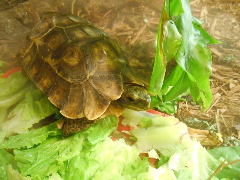 Hinge-Back Tortoises