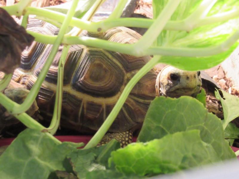 Western Hingeback Tortoises