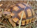 Chaco Tortoises