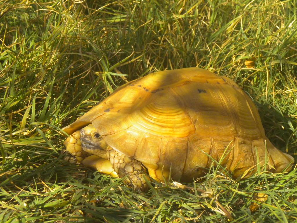 Golden Greek Tortoises