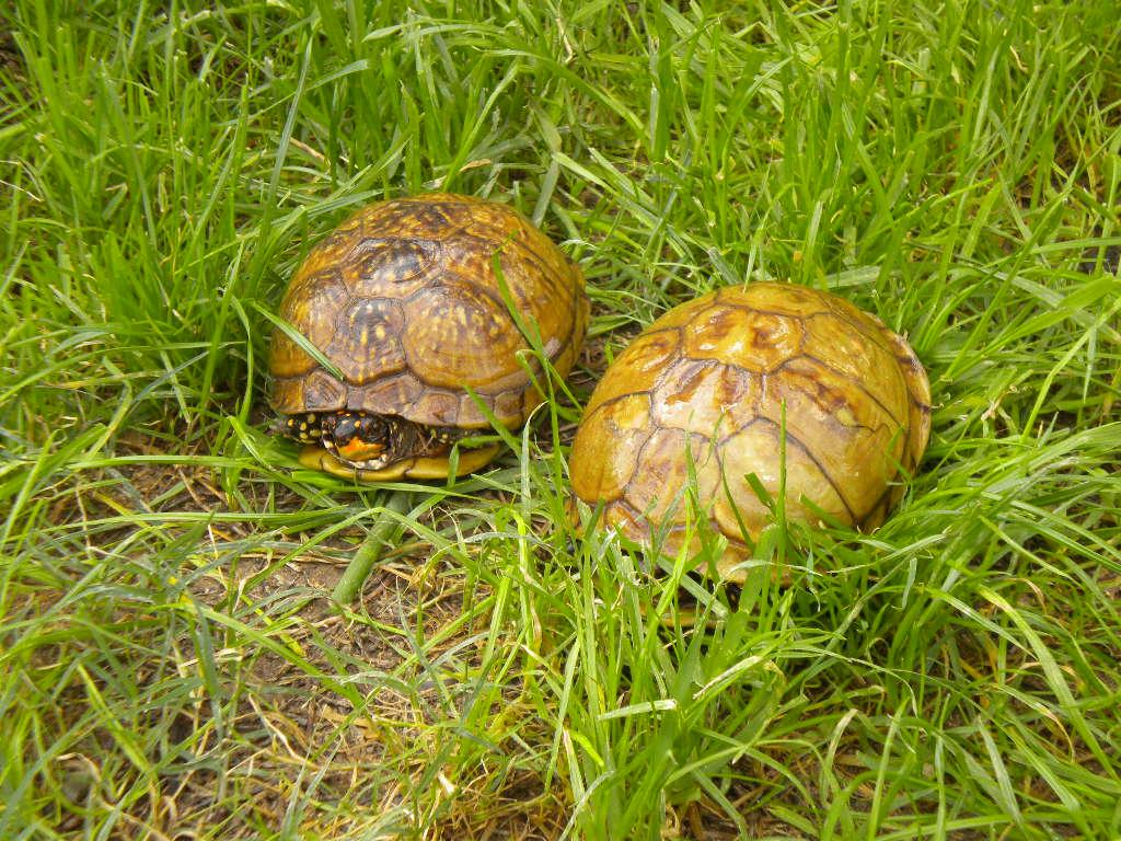 Three Toed Box Turtles