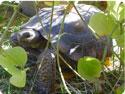 Sonoran Desert Tortoises