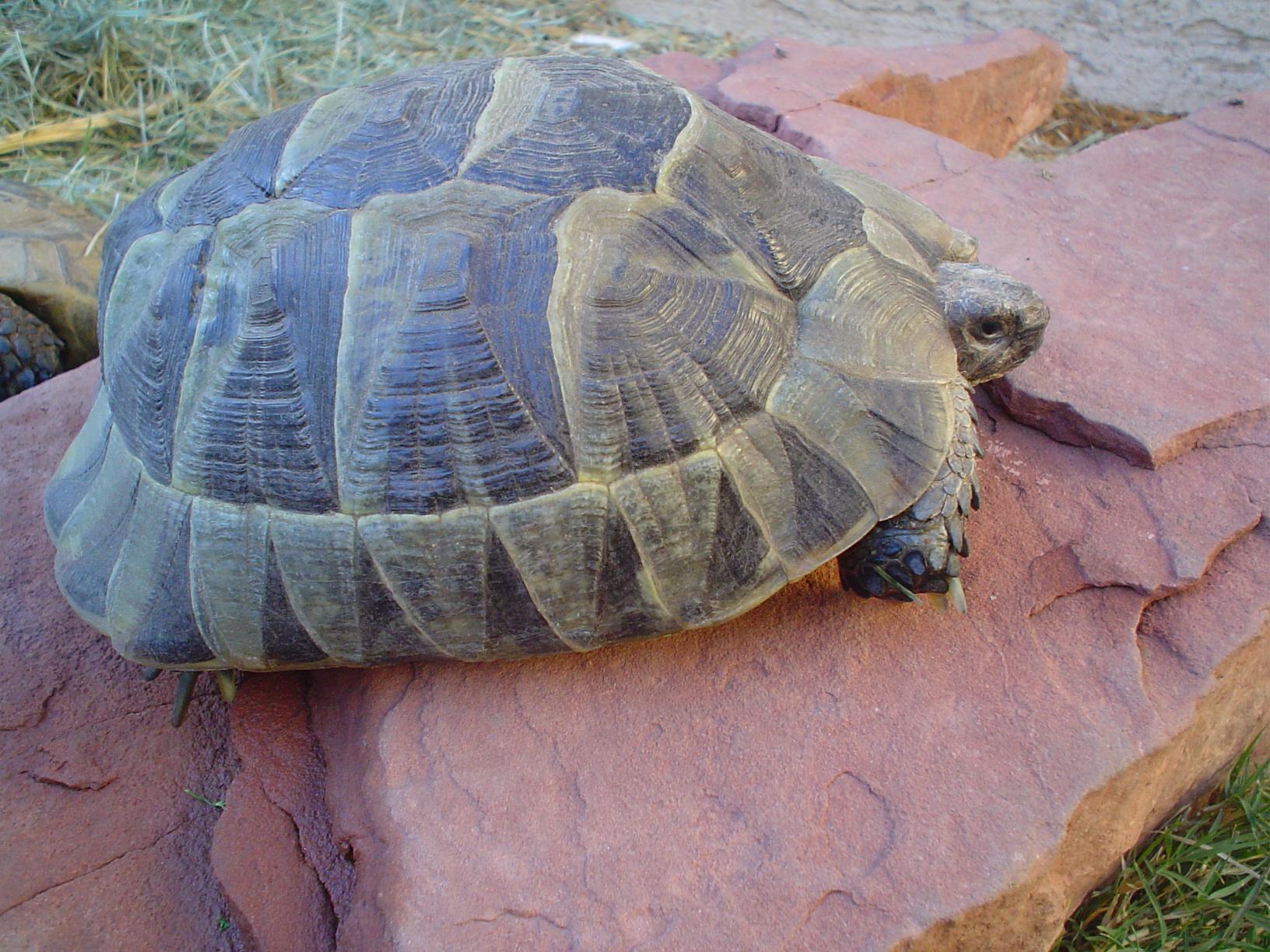 Ibera Greek Tortoises