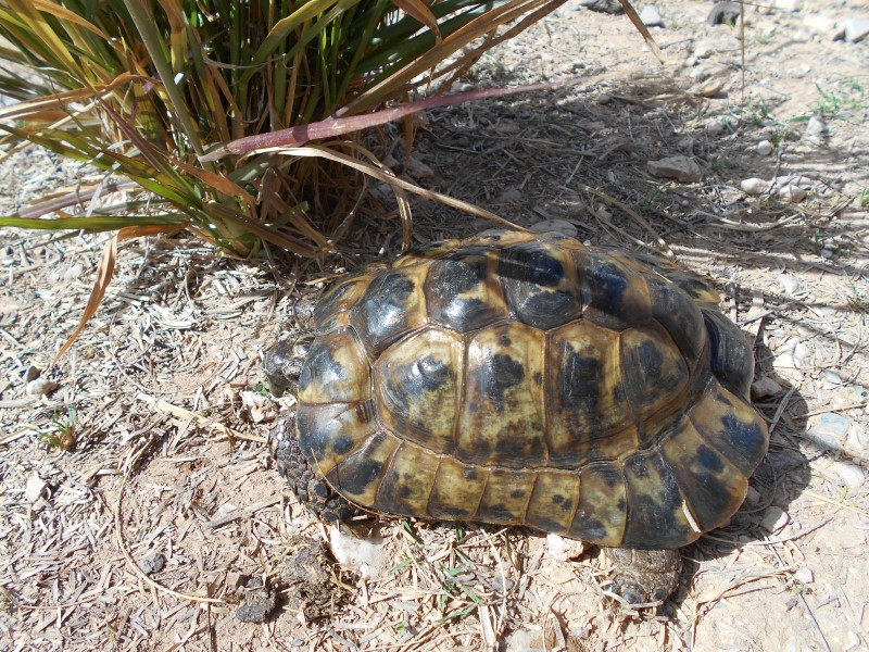 ibera greek tortoise - photo #2