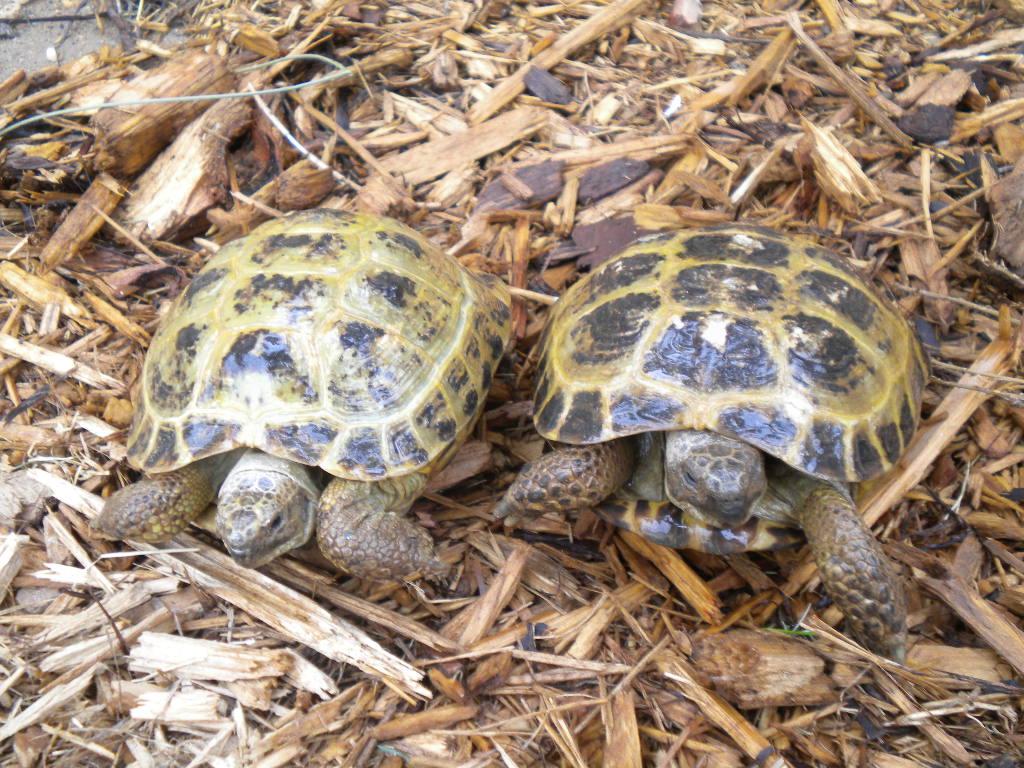 Arizona Tortoise Compound