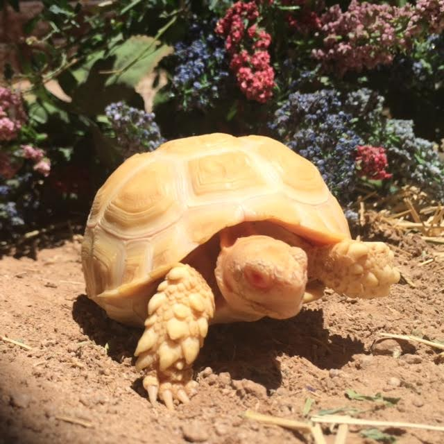 Yearling Albino Sulcata Tortoises