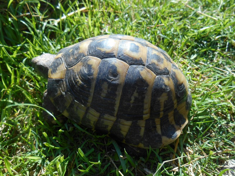 Adult Male Dalmatian Hermann's Tortoises