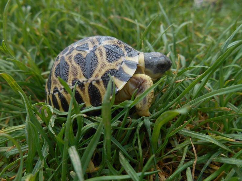 2019 Radiated Tortoise Hatchlings