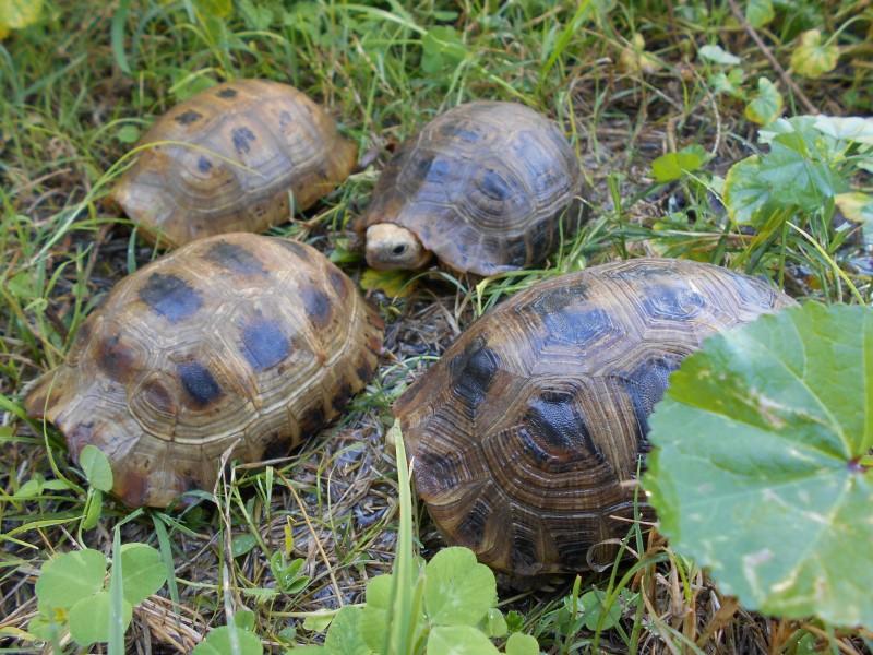 Young Female Elongated Tortoises