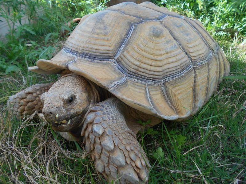 Adult Male Sulcata Tortoises