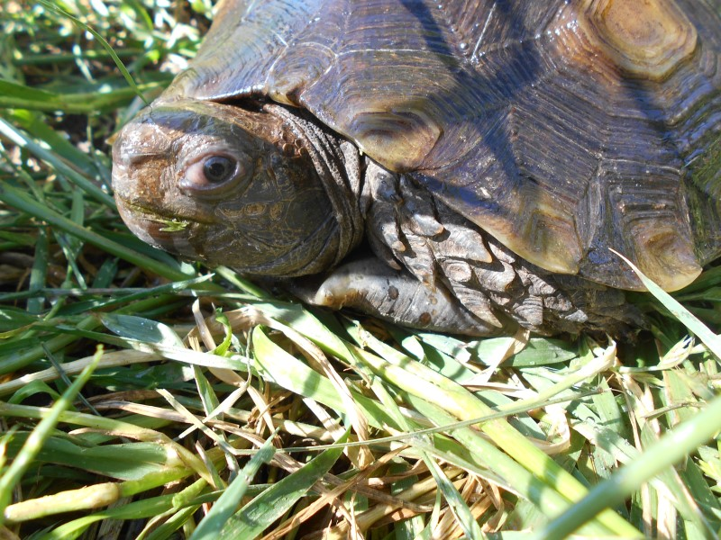 Young Adult Male Brown Mountain Tortoise