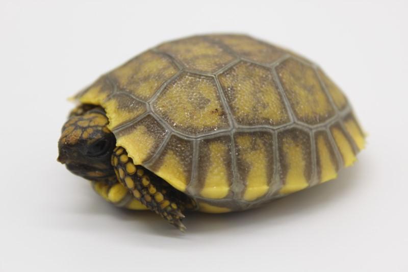 2019 Yellowfoot Tortoise Hatchlings