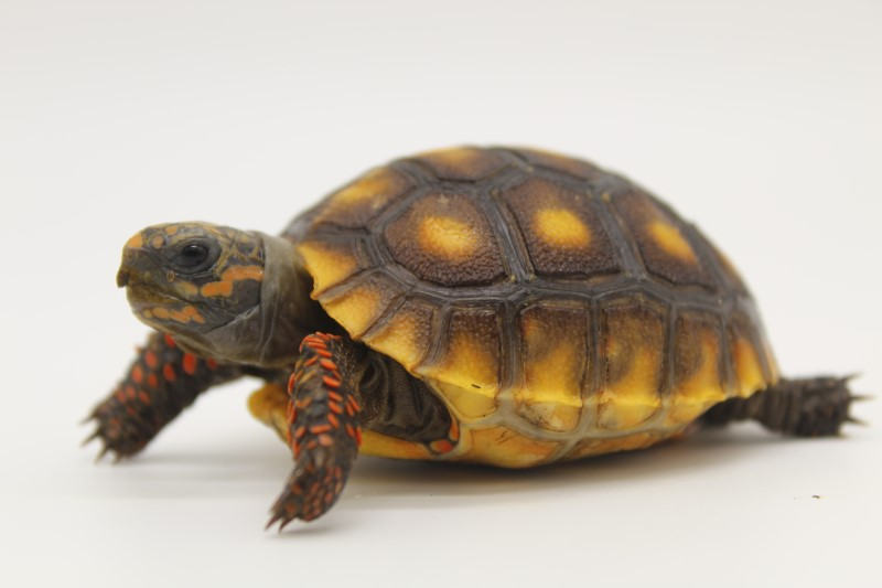 2019 Redfoot Tortoise Hatchlings