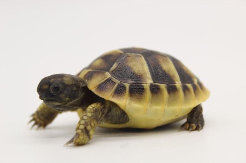 2019 Hermann's Tortoise Hatchlings