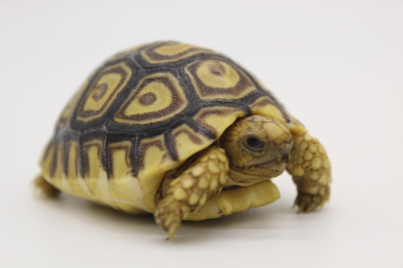 2020 Leopard Tortoise Hatchling