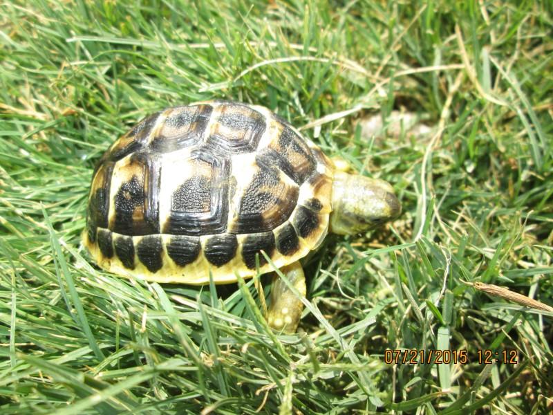 2019 Western Hermanns Tortoise Hatchlings