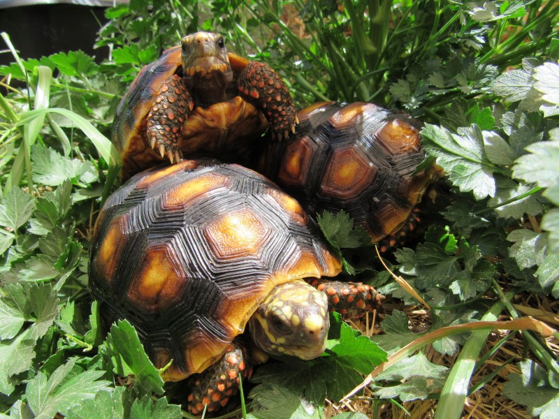 Yearling Redfoot Tortoises