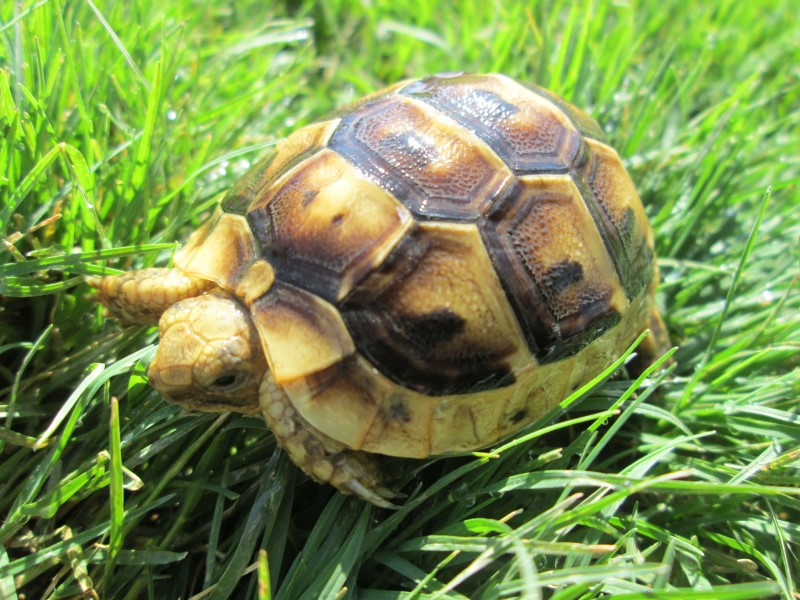 Libyan Greek Tortoise Hatchlings