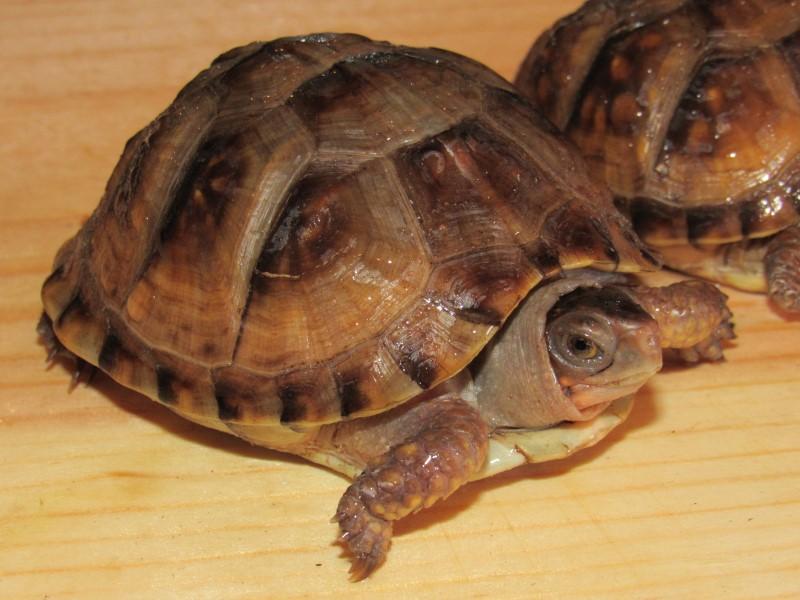 Yearling Three Toed Box Turtles