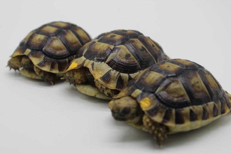 Yearling Moroccan Greek Tortoises
