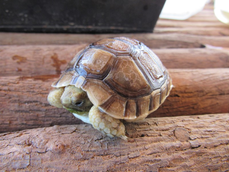 2019 Moroccan Greek Tortoise Hatchling