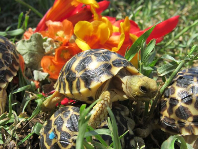 Burmese Star Tortoise Hatchlings