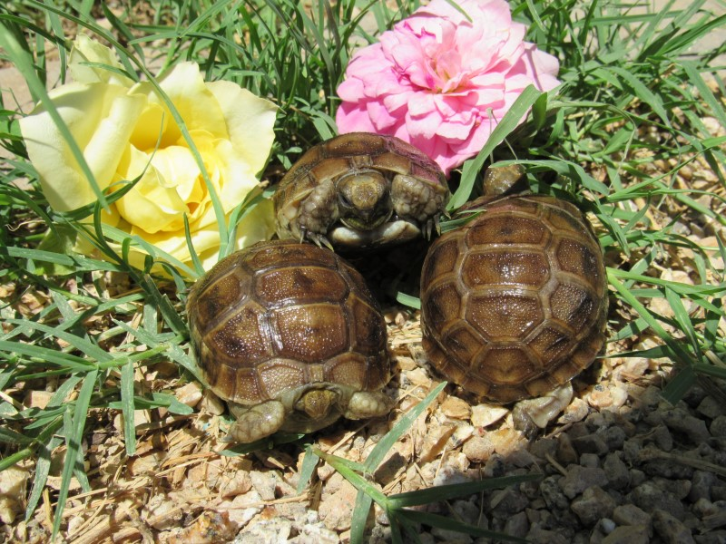 Buxton's Greek Tortoise Hatchlings