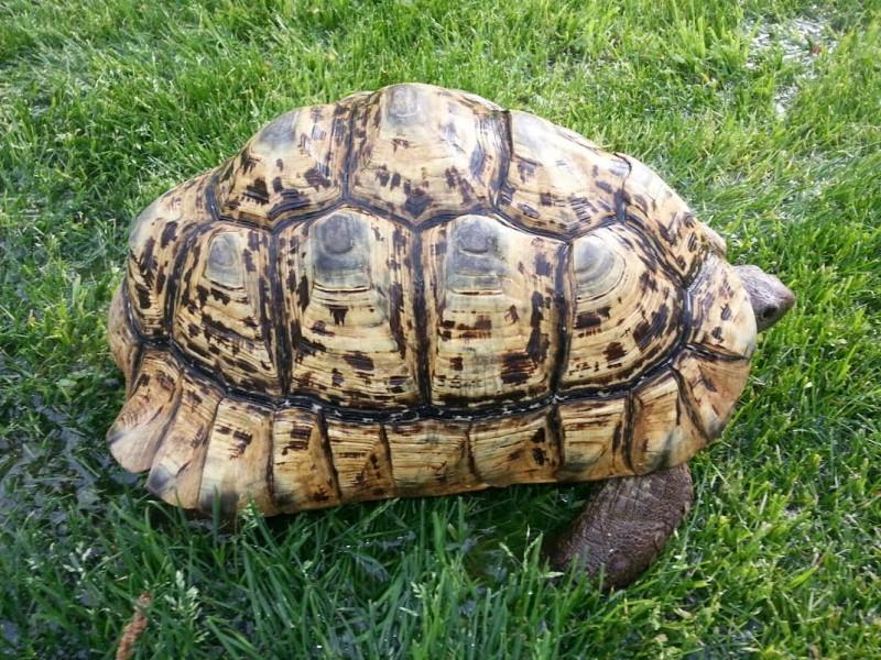 Adult Male Leopard Tortoises