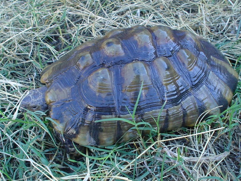 Adult Male Marginated Tortoise