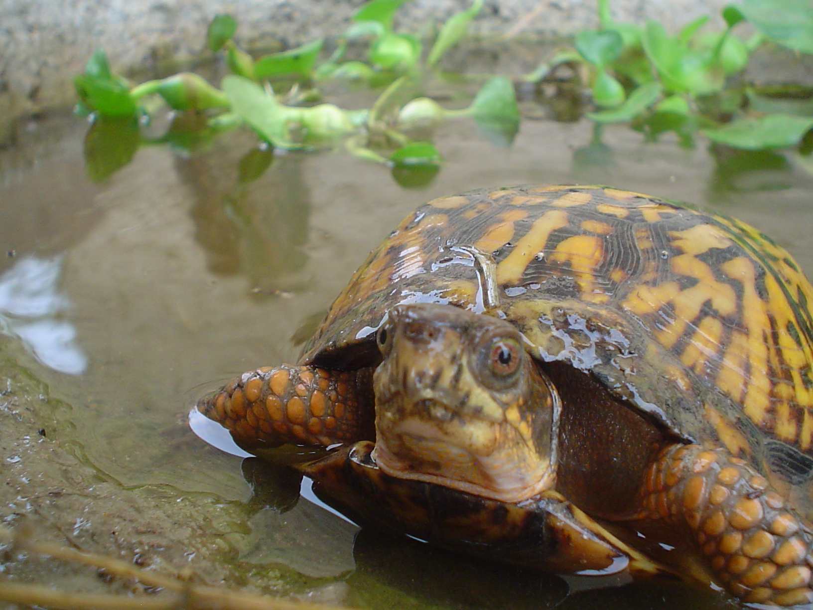 Eastern Box Turtle Pairs
