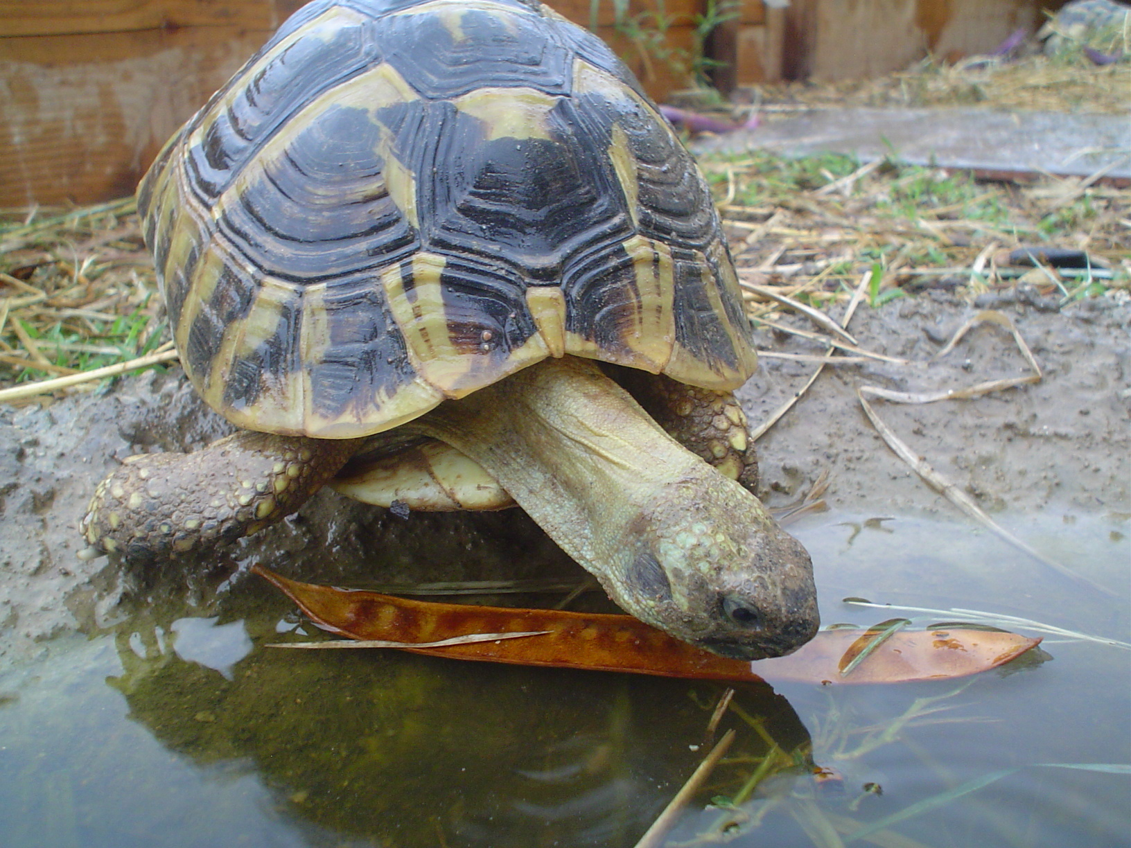 Eastern Hermann's Tortoise Pairs