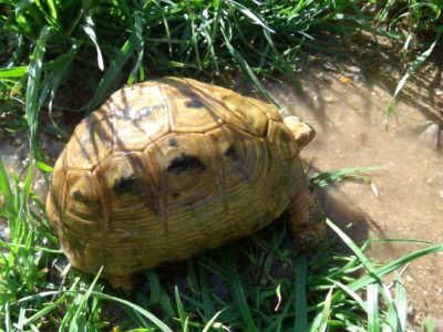 Male Golden Greek Tortoises
