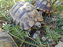 Adult Male Morocco Greek Tortoise