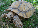 Adult Male Sulcata Tortoises