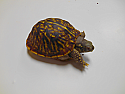 Young Male Ornate Box Turtle