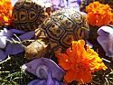 2020 Pardalis Pardalis Leopard Tortoise Hatchlings