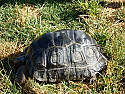 14 inch Aldabra Tortoise