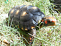 Young Adult Male Cherryhead Tortoises
