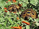 Speke's Hingeback Tortoise Hatchlings