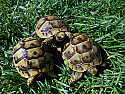 2014 Ibera Greek Hatchlings