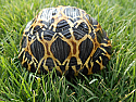 Yearling Radiated Tortoise