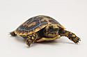 2019 Pancake Tortoise Hatchlings