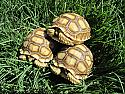 Sudanese Sulcata Tortoise Hatchlings