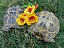 Adult Female Russian Tortoises