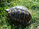 Adult Male Dalmatian Hermann's Tortoises