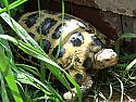 Male Forsten's Tortoise